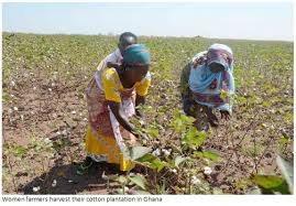 Production of cotton can provide jobs and reduce poverty in the northern savanna zone