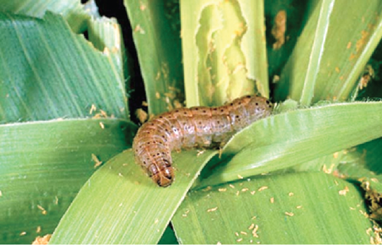 The invasion of the fall armyworm destroyed about 100 per cent of maize farms