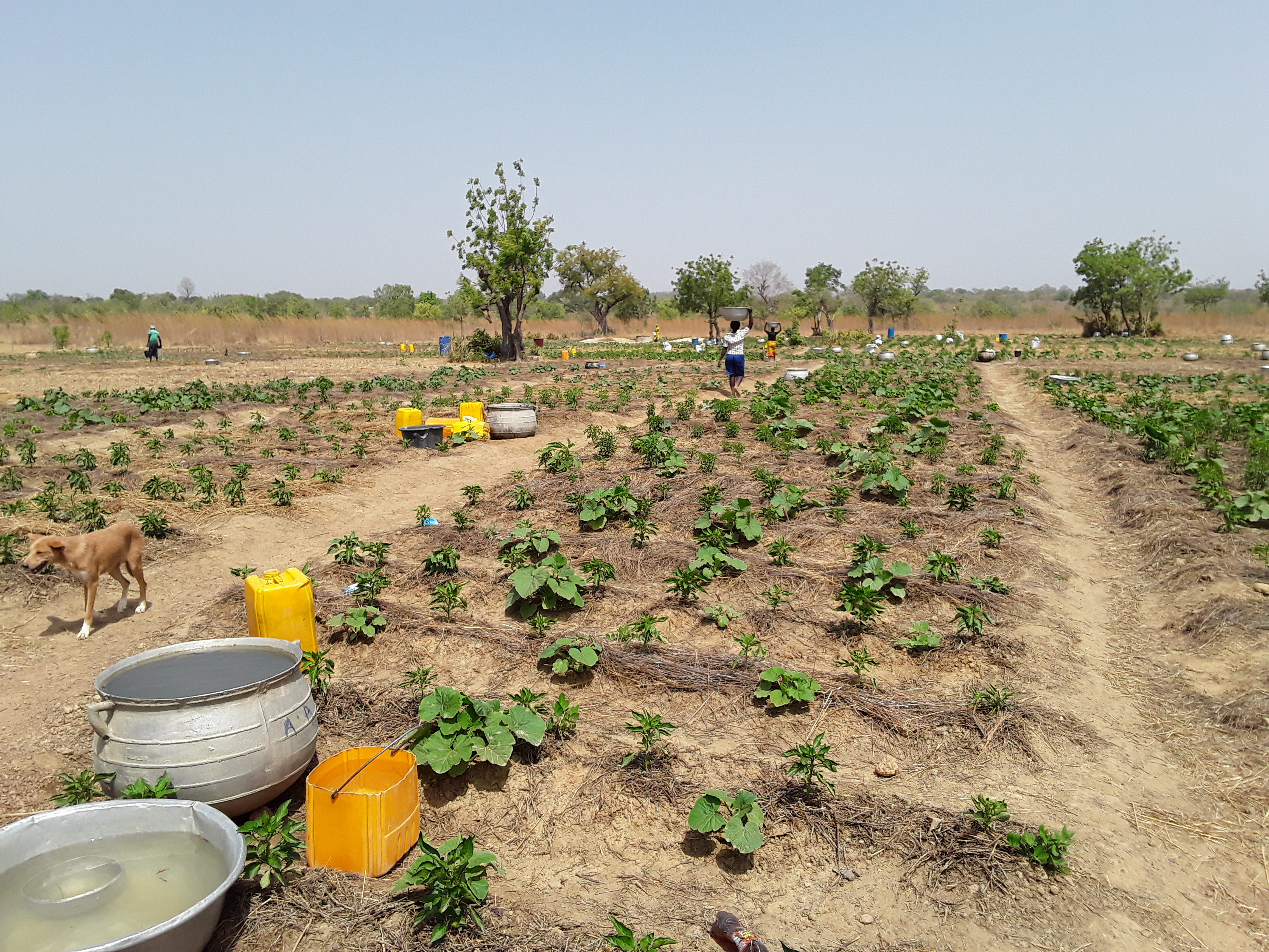 A vegetable farm under cultivation by one of the women groups