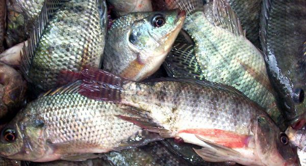 The tilapia market has been hard hit by COVID-19