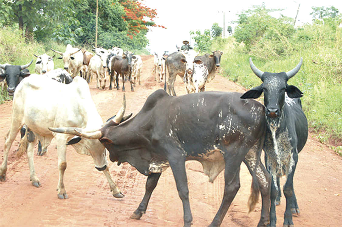 Many depend on cattle rearing as a source of livelihood in Ghana.