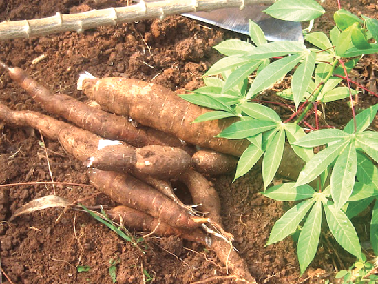 Cassava can be grown in any part of the country